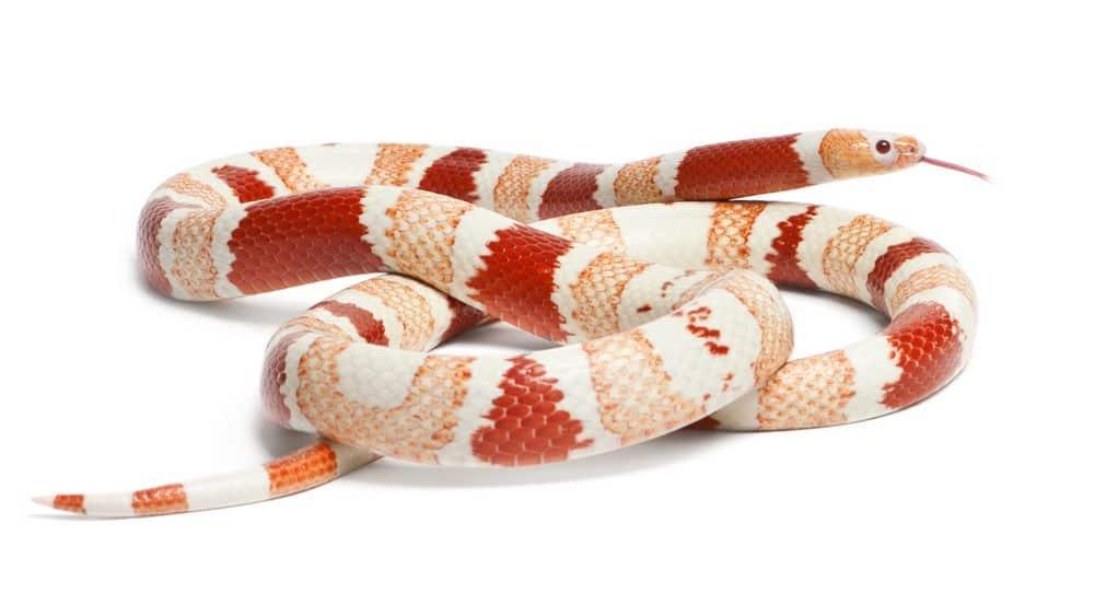 Albino Tangerine aberrant Honduran milk snake