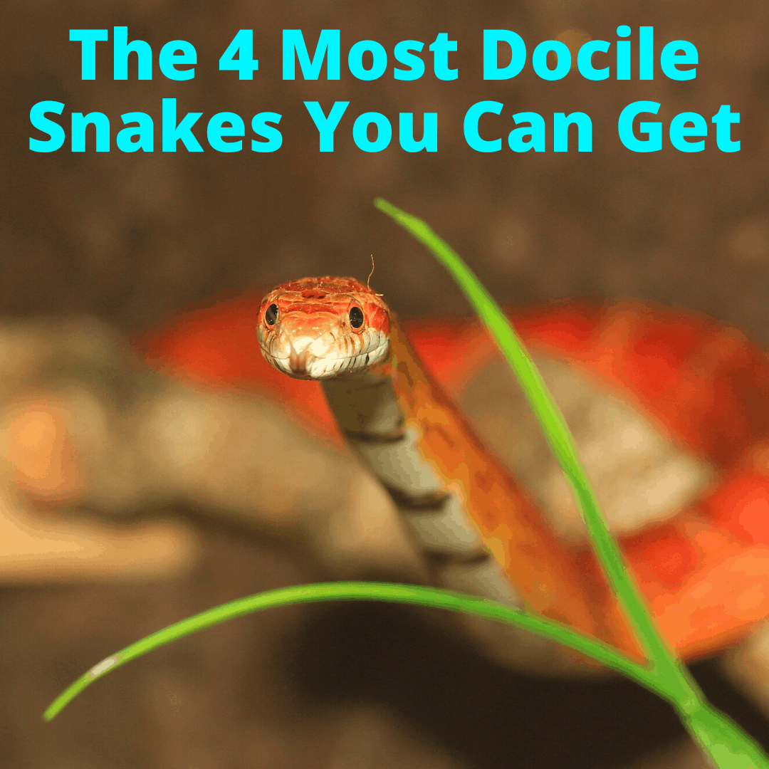 One of the most docile snakes