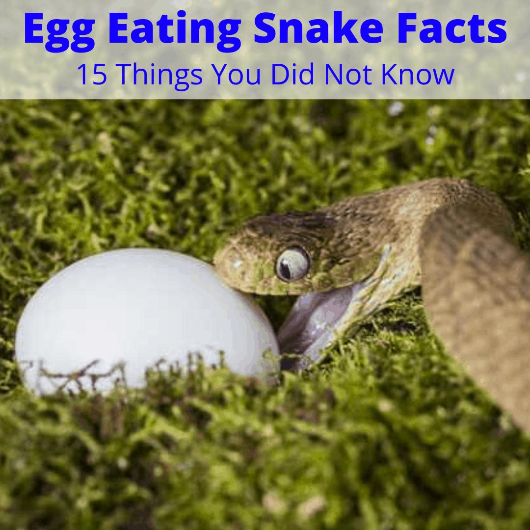 Egg Eating Snake Facts