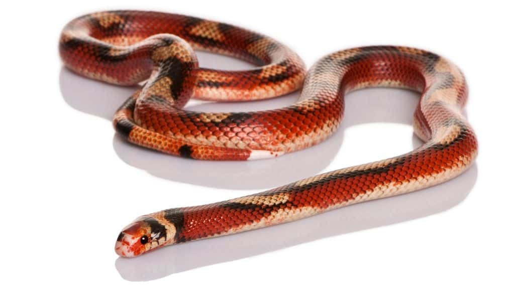 Nelson's milk snake