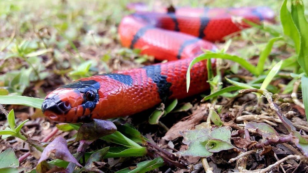 Non-venomous milk snake