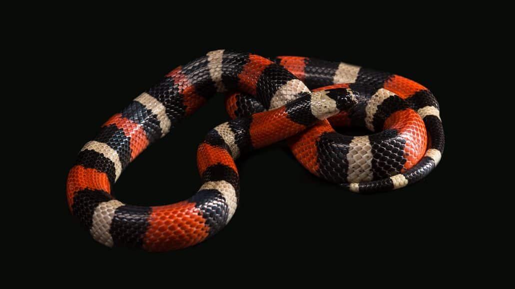 Pueblan milk snake