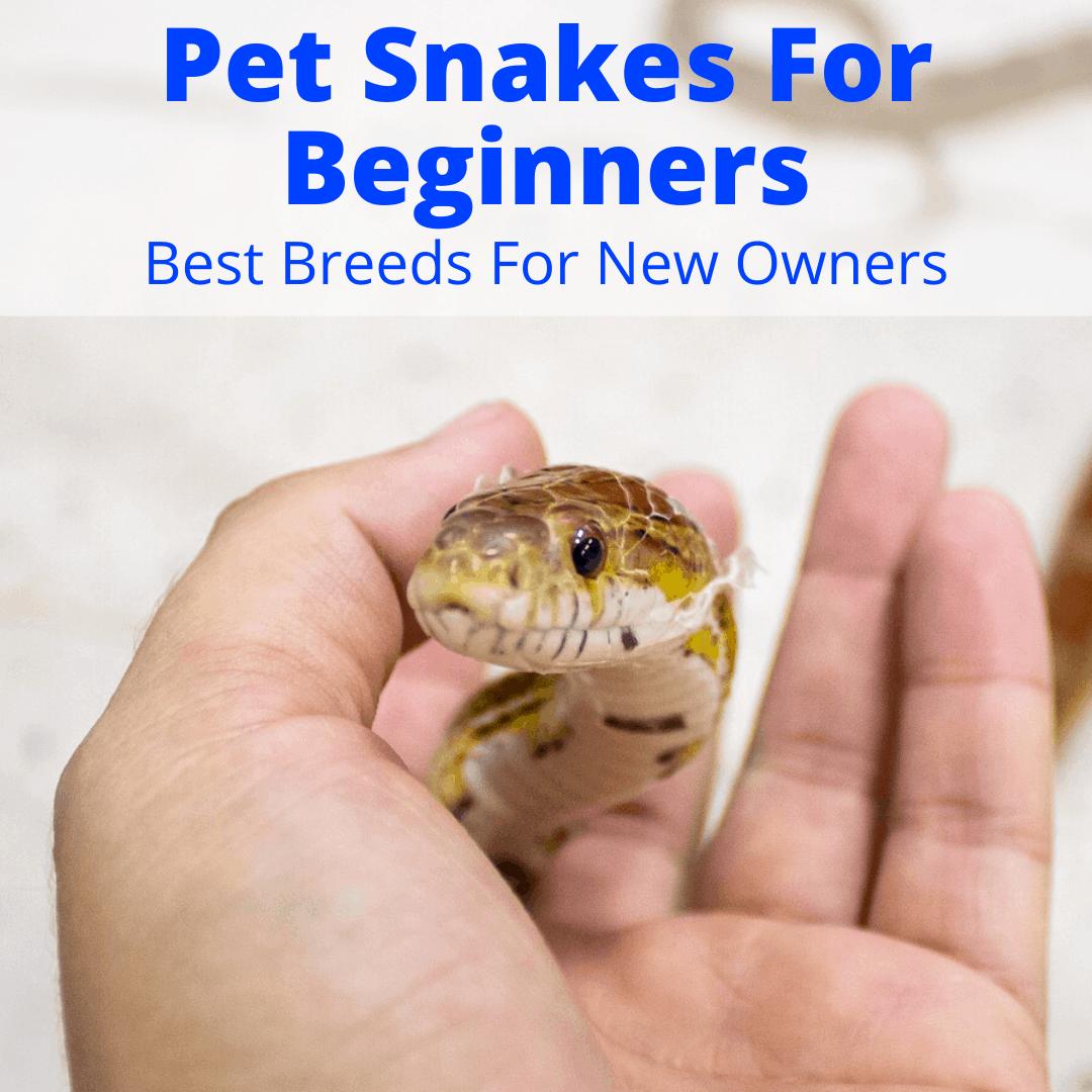 Pet Snakes For Beginners