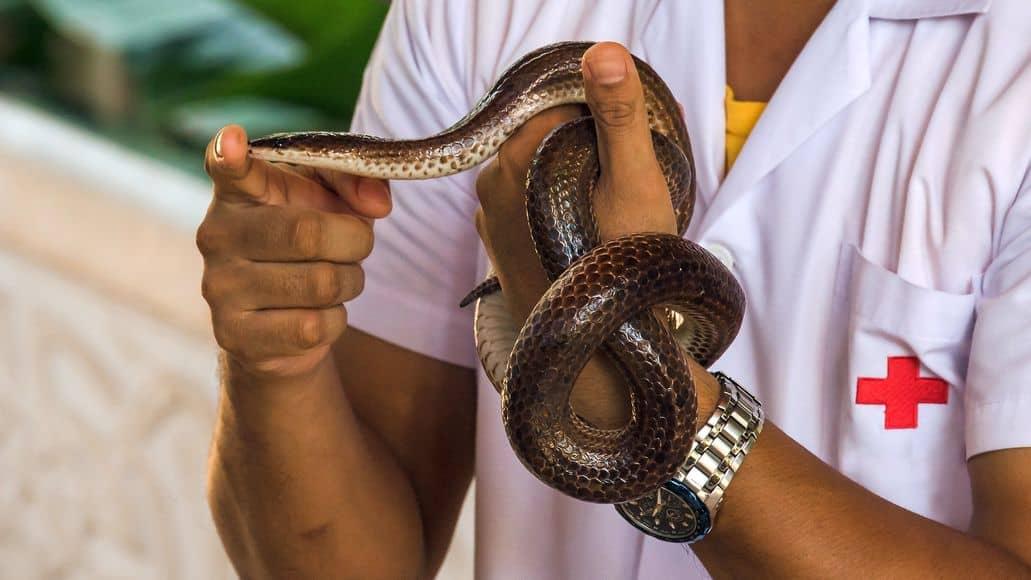 Holding wild sunbeam snake