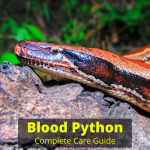 Blood Python care