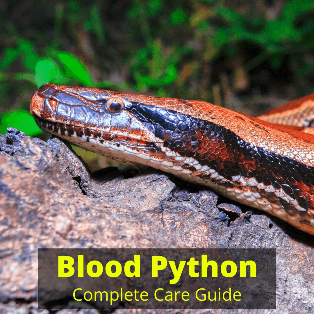 Blood Python care