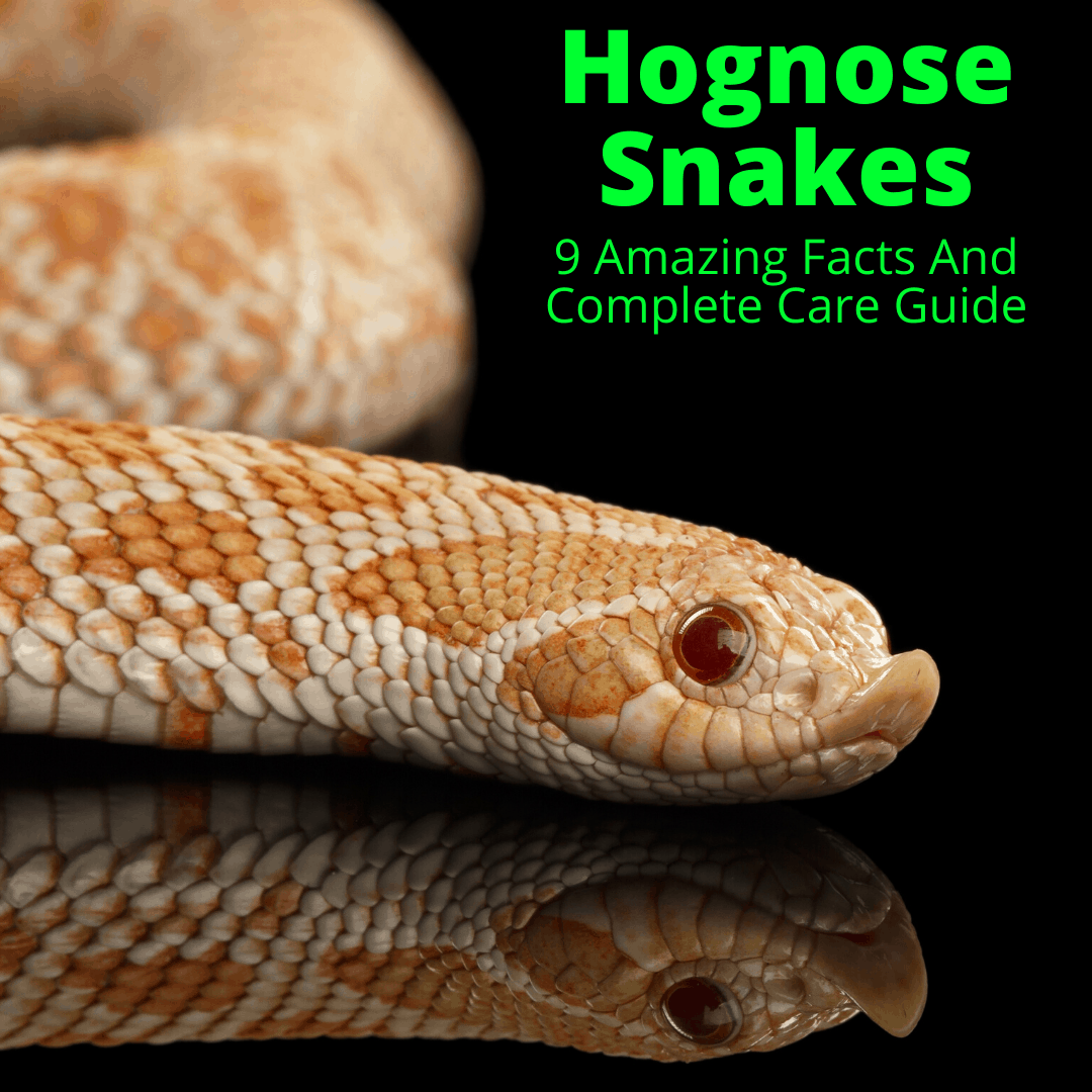 Hognose Snakes 9 Amazing Facts And Complete Care Guide