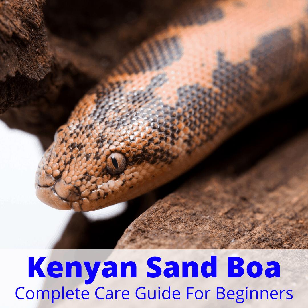 Kenyan Sand Boa