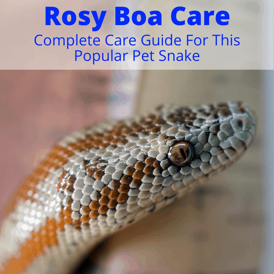 Rosy Boa Care