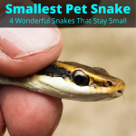 Smallest Pet Snake (4 Best Snakes That Stay Small)