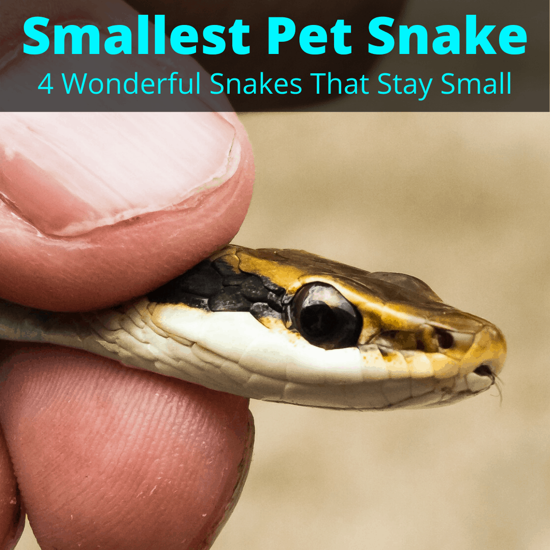Smallest pet snake