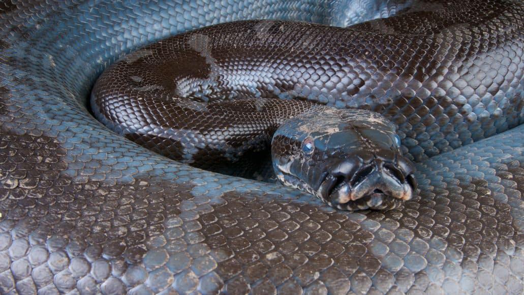 Black Blood Python
