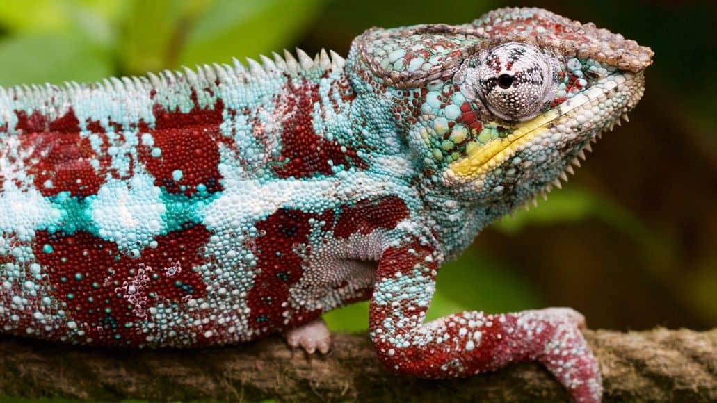 Chameleon pet