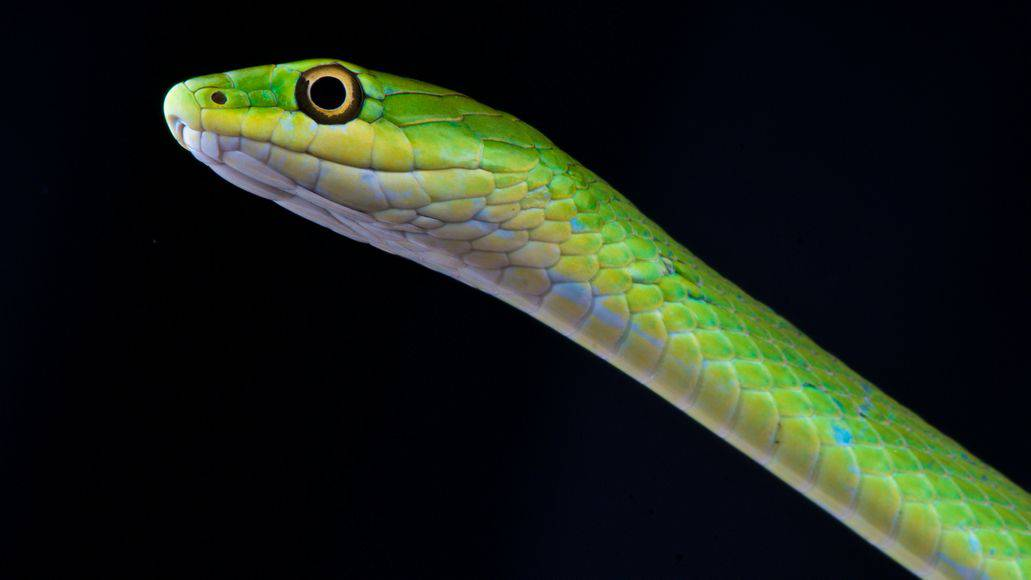 Rough green snake close up