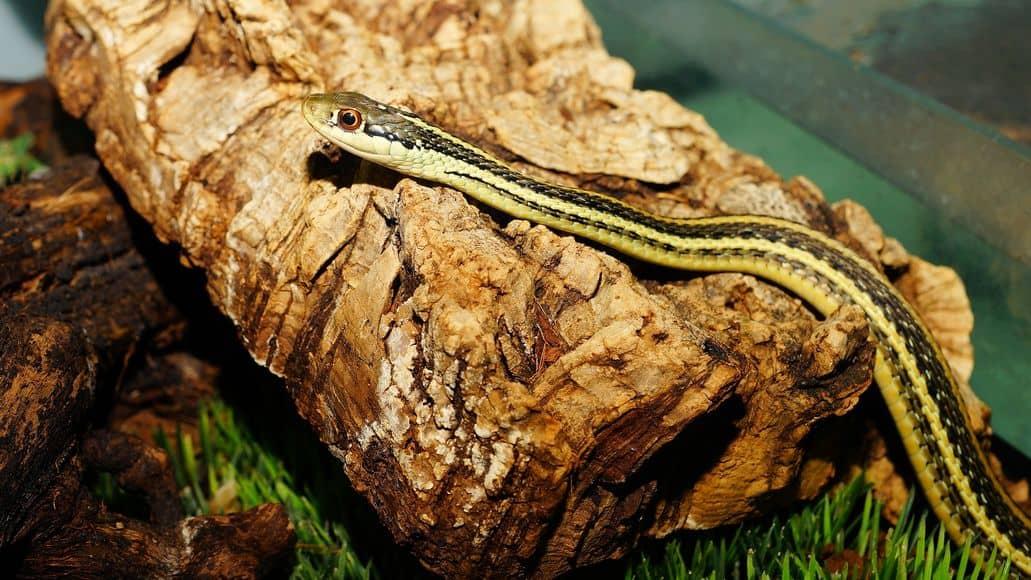 Garter snake in enclosure