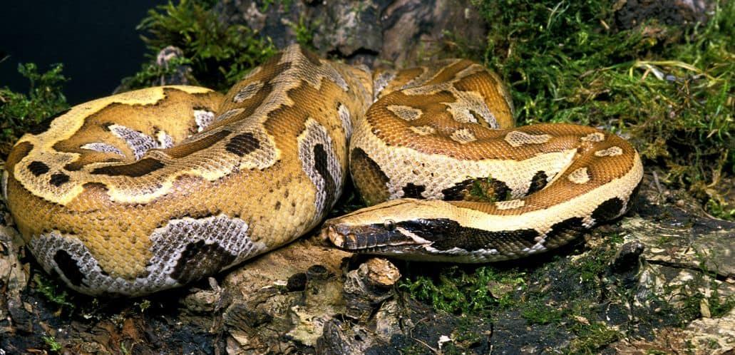 Large blood python