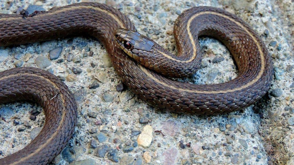 Mature garter snake lives long life