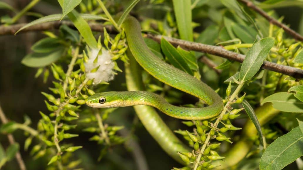 Rough green snake hiding in tree