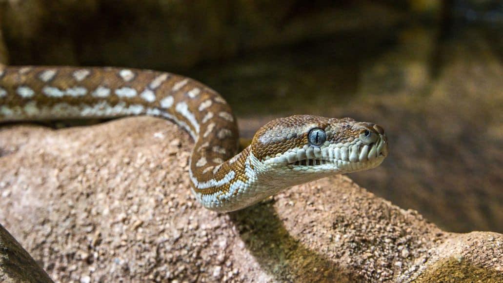 Snake as a pet