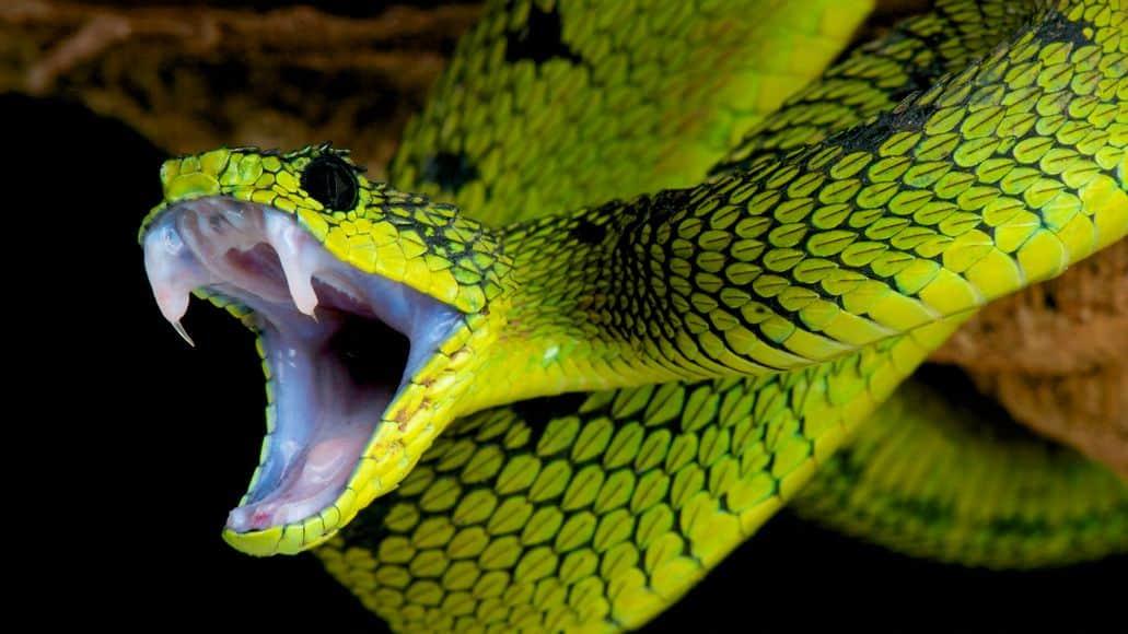 Great Lakes viper biting