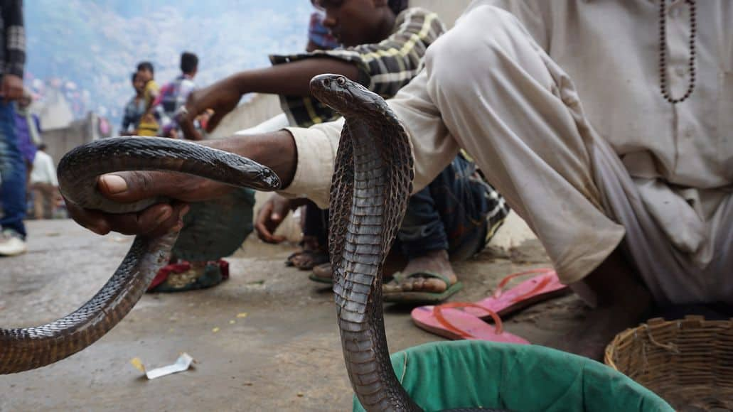 Taming cobra snakes