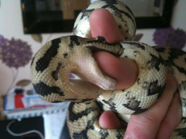 How to Tame a Snake in 7 Easy Steps - My Snake Pet