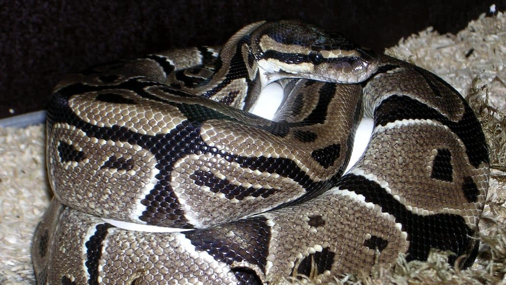 Axanthalic ball python