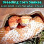 Breeding Corn Snakes