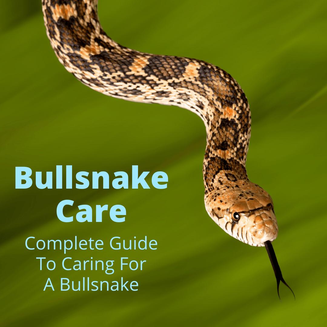 Bullsnake Care