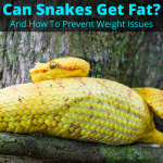 Can snakes get fat