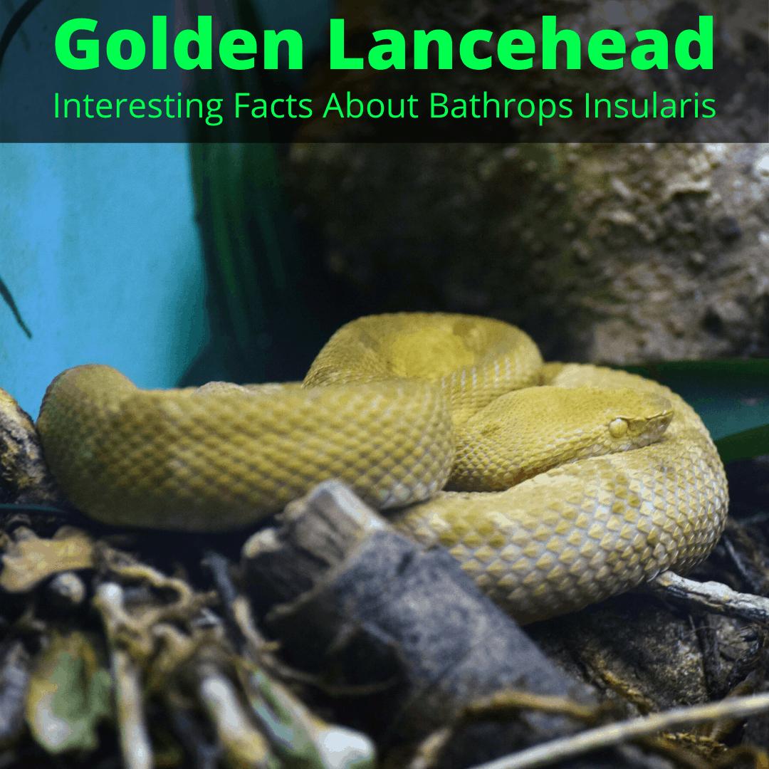 Golden Lancehead snake