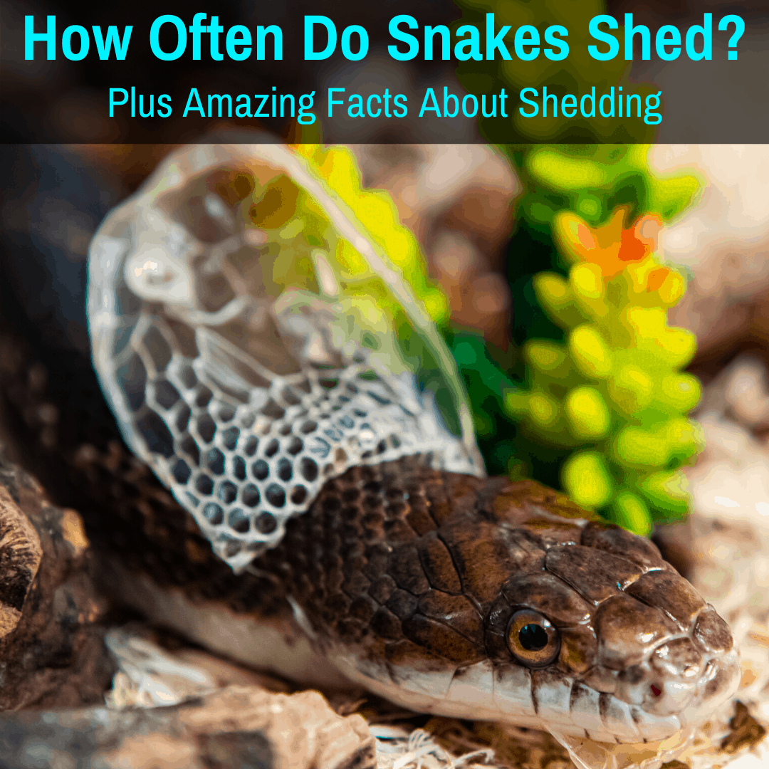 How Often Do Snakes Shed