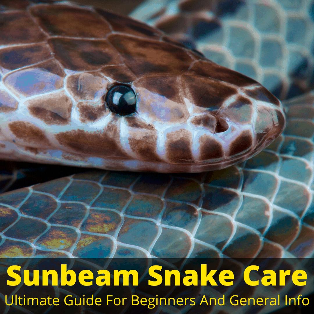 Sunbeam snake care