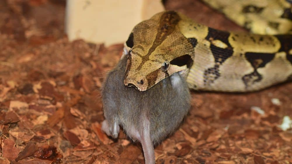snake with rat