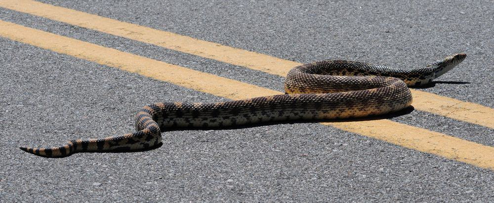 bullsnake on road
