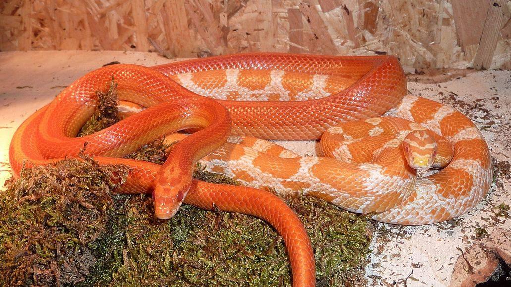 Corn snake couple