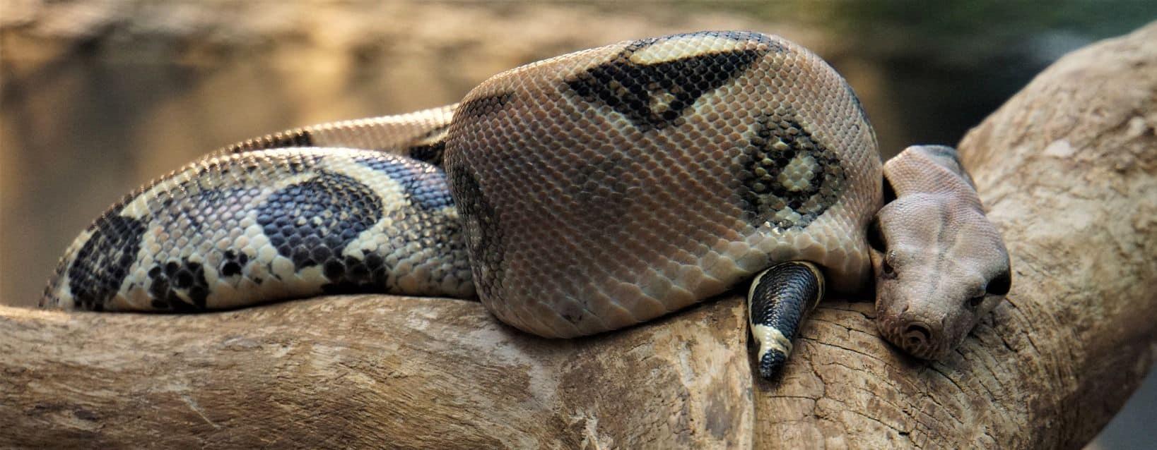 Fat snake in a tree