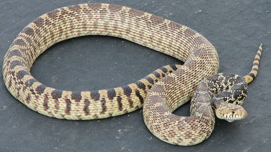 Gopher snake looks like rattlesnake