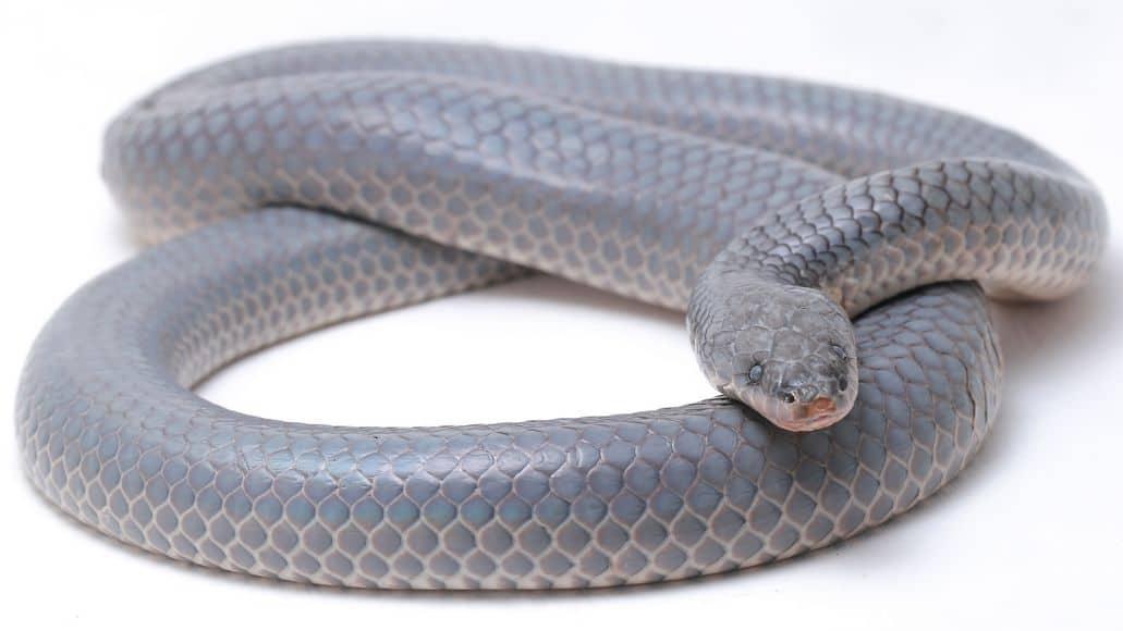 Gray sunbeam snake body