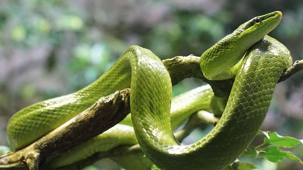 Green non-venomous snake