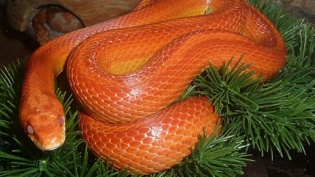Healthy corn snake morph