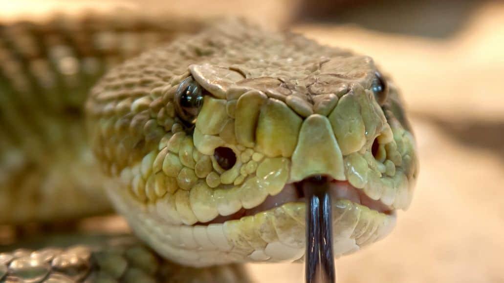 Heat sensing pits on rattlesnake face