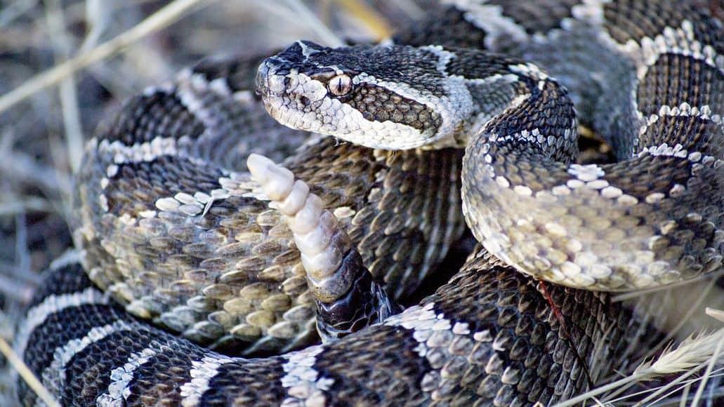 Snake ratttling its rattle