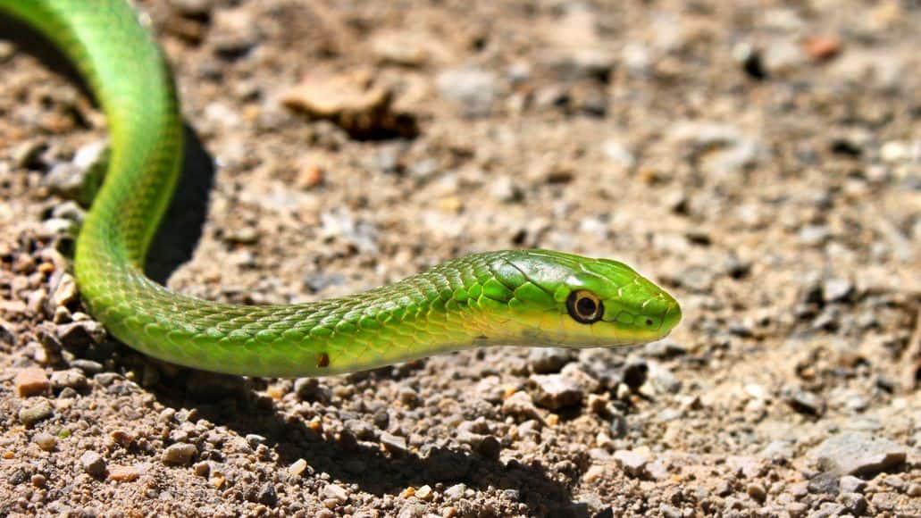 Rough green snake