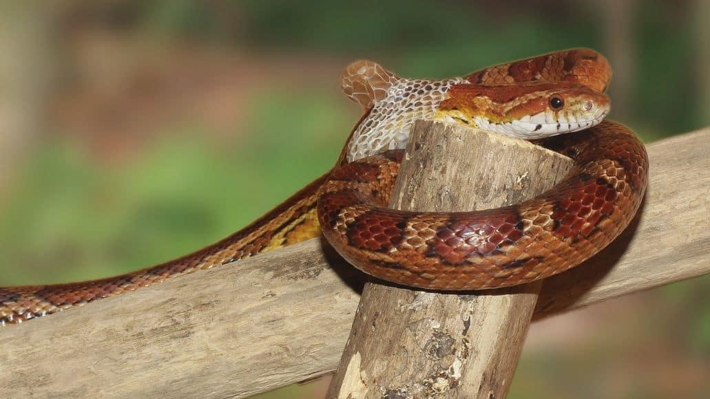 Snake beginning shed