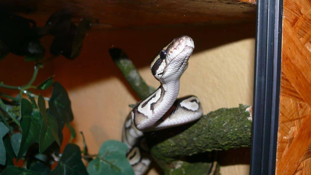 Snake behind the glass of built terrarium