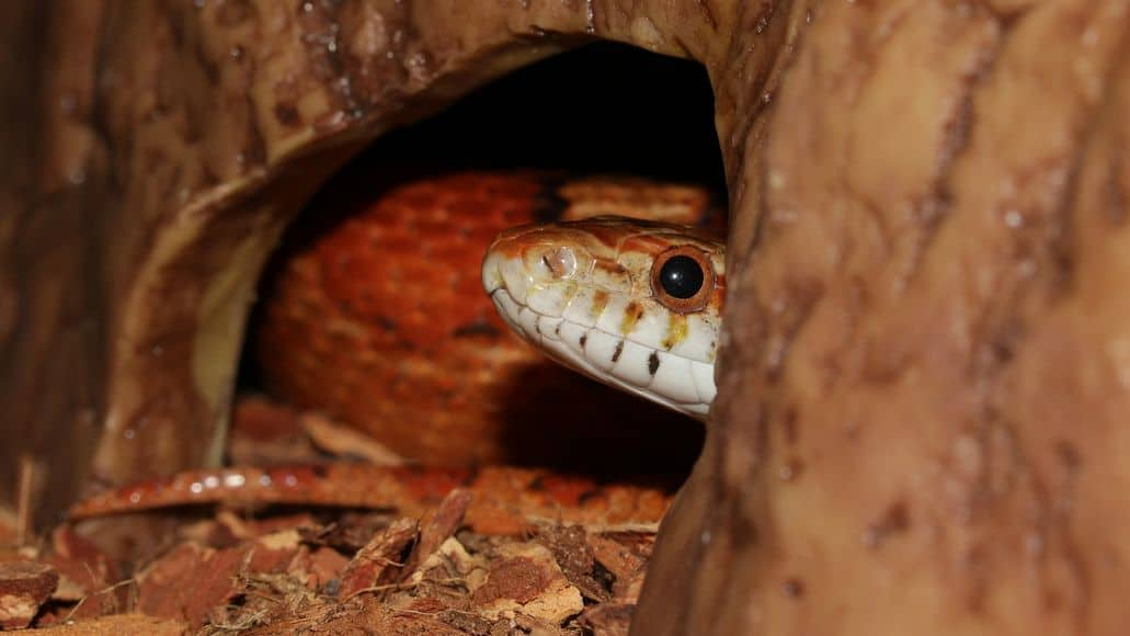 Snake inside a cave hideout