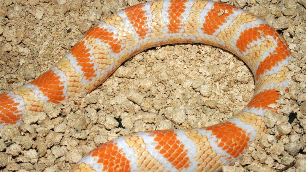 Corn snake morph in substrate