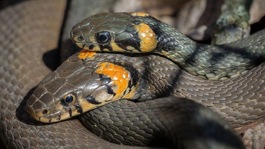Snakes reproducing sexually