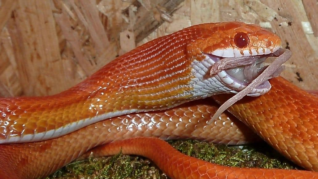 Stretched scales on snake